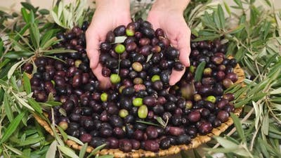 Olives Harvest Organic Cultivation