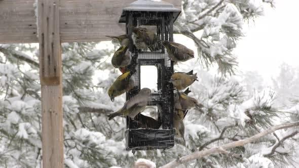 Thumbnail for Red Crossbill Male Female Flock Many Eating Feeding in Winter Sunflower Feeder Bird Feeder
