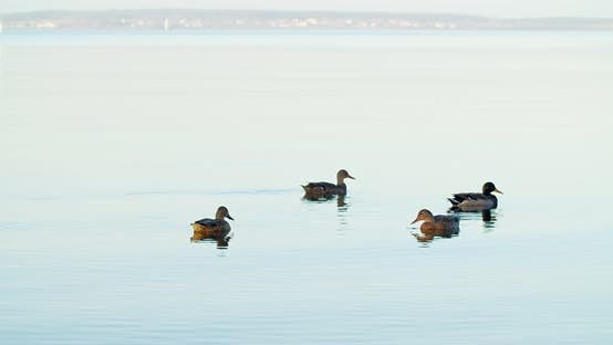 Thumbnail for Several ducks swim on a large lake