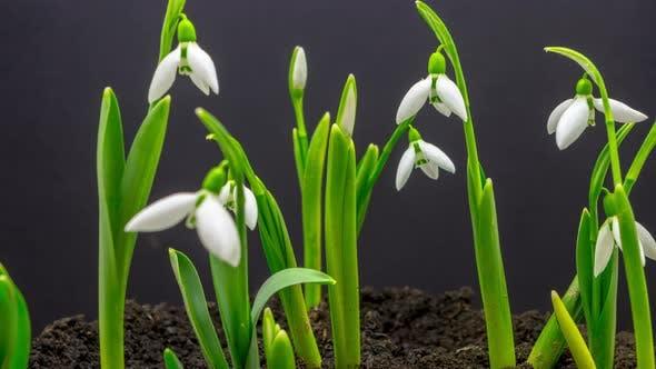 Thumbnail for Snowdrop Flower Blossom