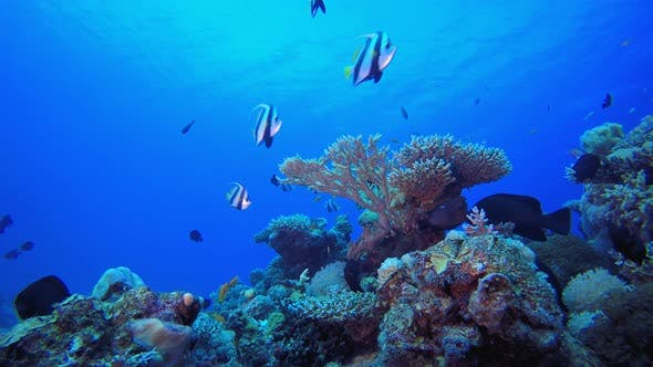Thumbnail for Reef Coral Garden Underwater