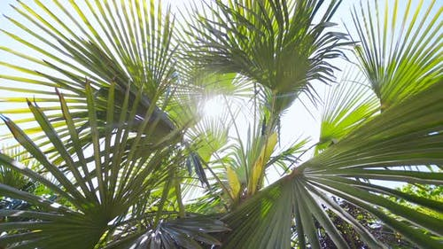 Sunshine Through Palm Leaves with Sun Background with Lens Flare Effects in Slow Motion.