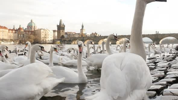 Thumbnail for Vltava river banks in capital of Czechia with lot of swans on water 3840X2160 UHD footage - White Cy