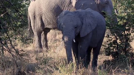 African Elephant in Moremi, Botswana safari wildlife