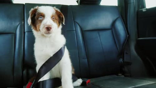 Funny Puppy Fastened with a Seat Belt in the Back Seat of a Car