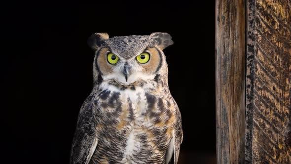 Beautiful Great Horned Owl
