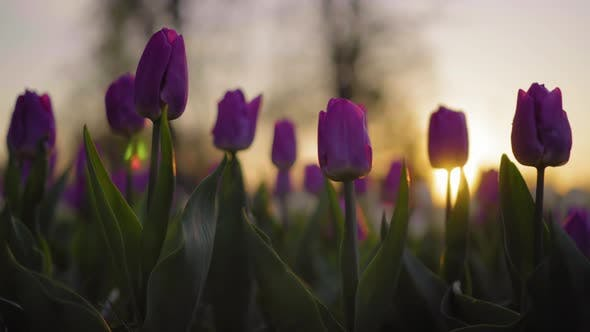 Thumbnail for Purple Flowers Tulips Swaying Gently From a Weak Wind. The Rays of the Setting Sun Beautifully