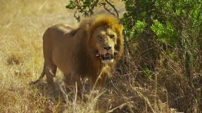 A lion in the savanna