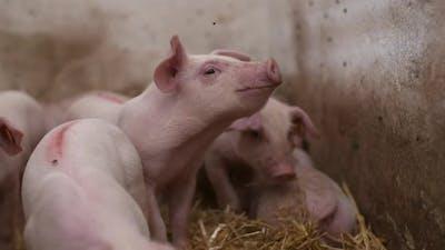 Pigs on Livestock Farm, Pigs Farm, Livestock Farm. Modern Agricultural Pigs Farm