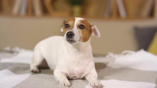 Lovely Jack Russel Terrier Dog Resting on Bed