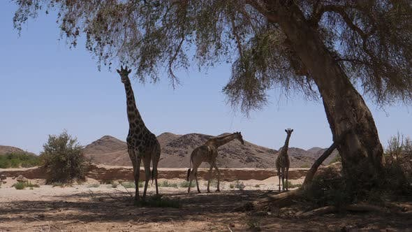 Herd of giraffe walking away from the shade of a tree