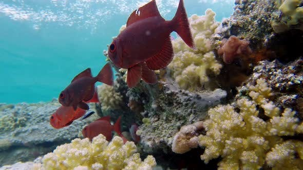 Thumbnail for Underwater Colorful Tropical Bigeye Fish