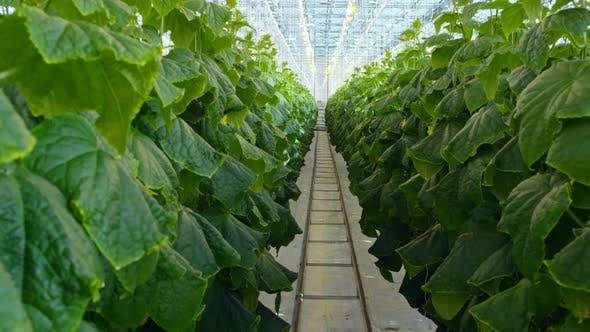 Cover Image for Vegetable Plants Growing in Hydroponic Greenhouse