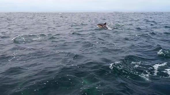 Forward Pan of a Pod of Dolphins in the Ocean