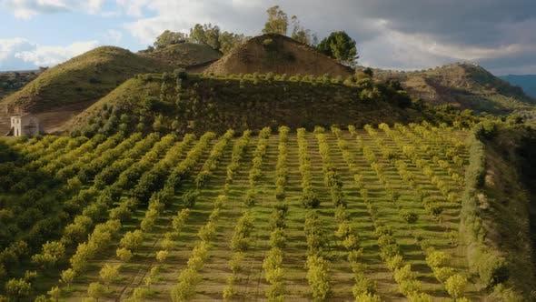 Thumbnail for Bergamot Trees Cultivation