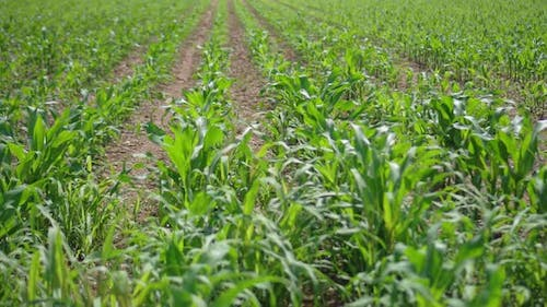 Young Maize Field in Rows