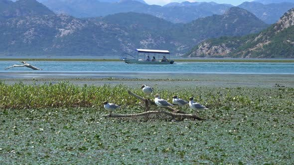 Thumbnail for Seagull Birds on Famous Lake Skadar in Montenegro