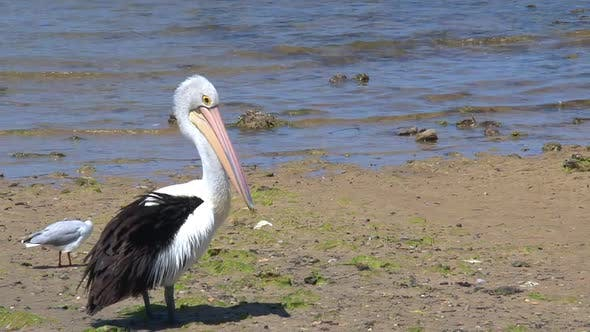 Thumbnail for Australian Pelican cleaning his feathers