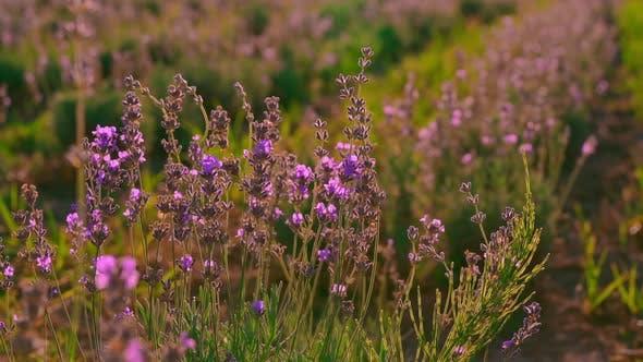 Frau Hand auf bläulich-lila Blüte