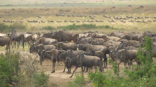 Gnus in Maasai Mara
