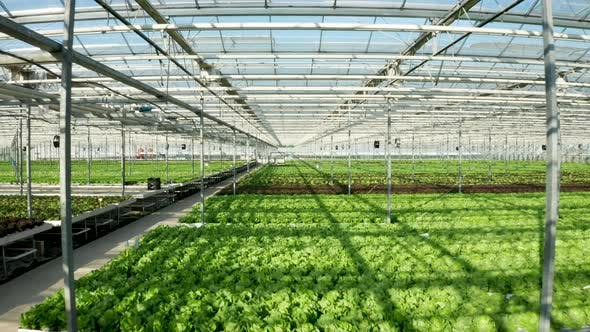 Thumbnail for Drone Shot of Modern Greenhouse Interior with Salad Growing in It