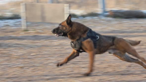 Thumbnail for A Man Training His German Shepherd Dog on the Playground - Throwing the Stick