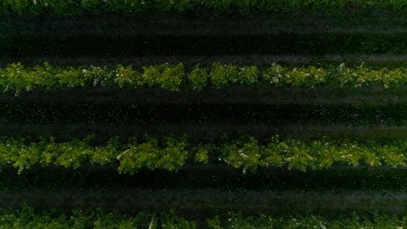 Top View Of The Garden Of Blooming Fruit Trees