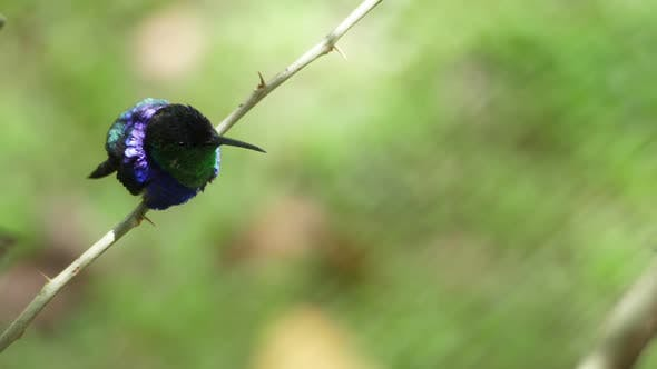 Thumbnail for Crowned Woodnymph Bird in its Natural Habitat in the Tropic