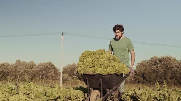 Thumbnail for Gardener Wheeling Cart with Lettuce along Field