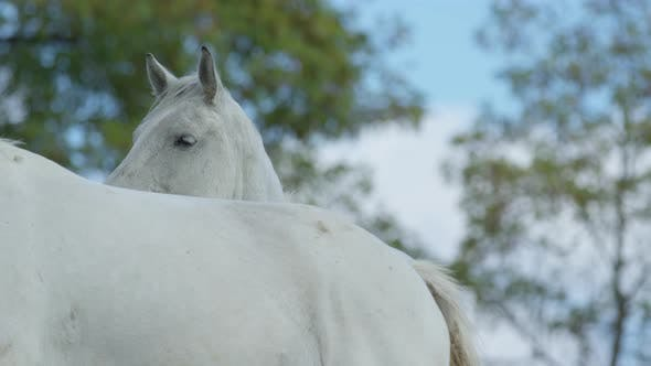 Cover Image for Two white horses