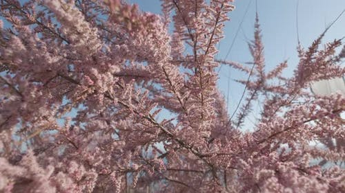 Spring Blooming Cercis Siliquastrum Judas Tree