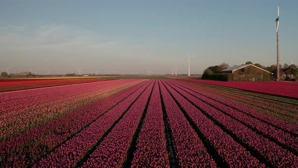 Thumbnail for Aerial View of Tulip Planted Fields in the Dronten Area. Spring in the Netherlands