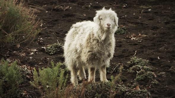 Thumbnail for Funny Sheep Looking at Camera.