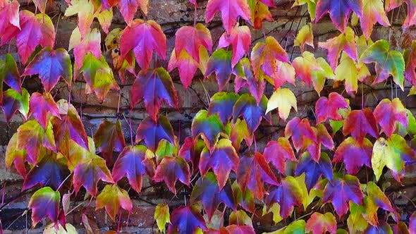 Cover Image for Ivy on the Brick Wall