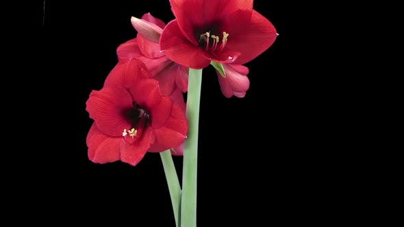 Thumbnail for Growing, opening and rotating Royal Red amaryllis flower