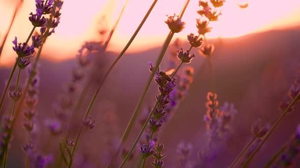 Sunrise in the Lavender Field