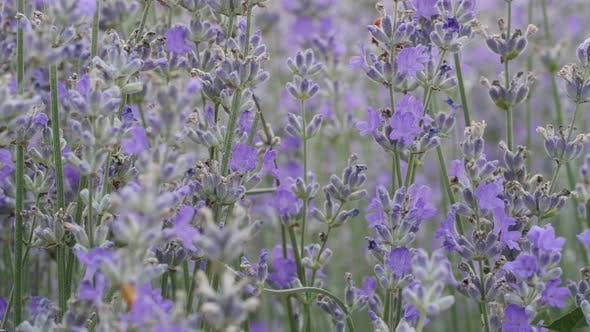 Thumbnail for Blooming Lavender