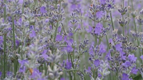 Thumbnail for Blühender Lavendel