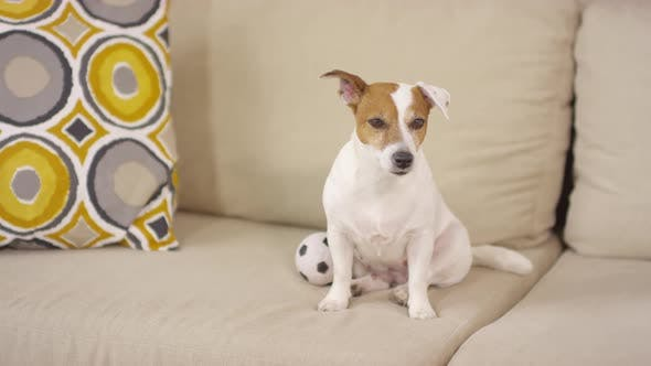 Lovely Jack Russel Terrier Dog Sitting on Sofa with Ball Toy