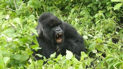 Sleepy Mountain Gorilla