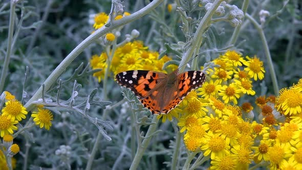 Thumbnail for Butterfly Named Vanessa Cardui On Yellow Flowers