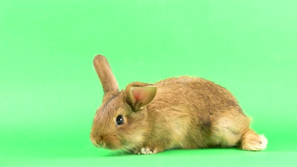 Small Fluffy Brown Domestic Rabbit on a Green Screen, Close-up. Easter Bunny on Chromakeia