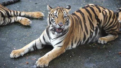 bengal tiger resting