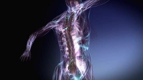 Female Skeletal Vertebral Column