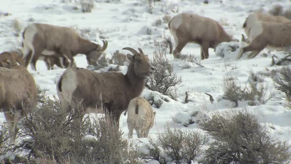 Thumbnail for Bighorn Sheep Ewe Female Fawn Kid Lamb Young Herd Many Scratching Itching. Rubbing Winter Late Born