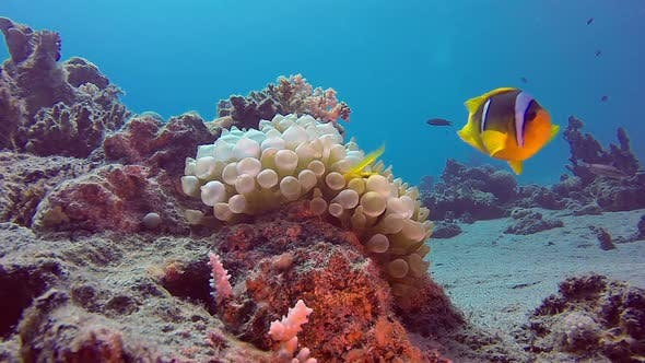 Cover Image for Tropical Clownfish and Sea Anemones
