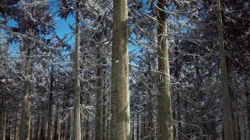 Snow Covered Conifer Forest at Sunny Day