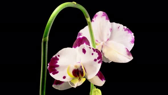 Thumbnail for Blooming White - Magenta Orchid Phalaenopsis Flower