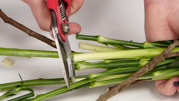 Thumbnail for Female Hands Is Cutting Flower Stems. White. Close Up