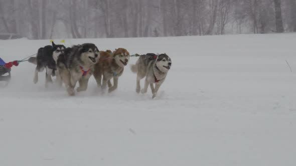 Cover Image for Husky Dog Team with Rider Participates in the Race
